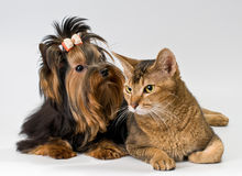 Yorkshire Terrier and cat in studio Stock Photos