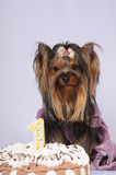 Yorkshire terrier celebrating first birthday. Portrait and a cake in front of dog Royalty Free Stock Image