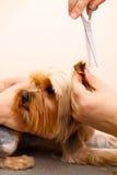 Yorkshire terrier che ottiene il suo taglio dei capelli immagini stock