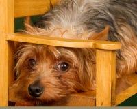 Yorkshire terrier che si nasconde e che ottiene preso fotografia stock