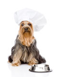 Yorkshire Terrier in chefs hat begging for food. l Stock Image
