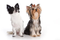 Yorkshire terrier and chihuahua Stock Photos
