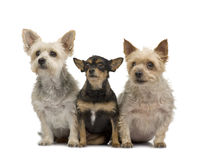 Yorkshire Terrier and chihuahua Stock Photo