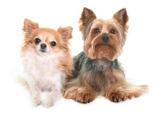 Yorkshire terrier and chihuahua Royalty Free Stock Photo