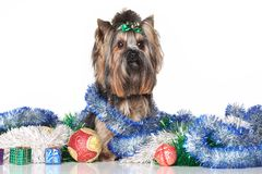 Yorkshire Terrier in Christmas gifts and garlands Stock Photography