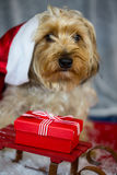 Yorkshire terrier with christmas hat, sweet face Royalty Free Stock Photo