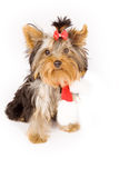 Yorkshire terrier with christmas scarf -dog Stock Photos