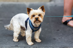 Yorkshire Terrier in the city stock images
