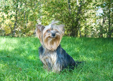 Yorkshire Terrier in city park royalty free stock photo