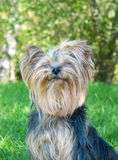 Yorkshire Terrier in city park stock photography