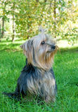 Yorkshire Terrier in city park stock images