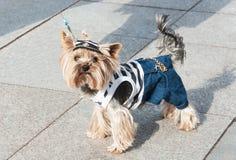 Yorkshire Terrier clad sea uniform Stock Images