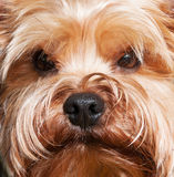 Yorkshire terrier, close-up. Muzzle Yorkshire terrier, close-up Royalty Free Stock Photos