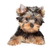 Yorkshire terrier close-up portrait stock photography