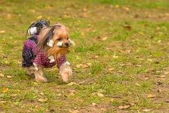 Yorkshire Terrier Close-up royalty free stock photo