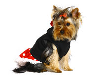 Yorkshire terrier in clothes. Royalty Free Stock Images
