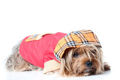 Yorkshire Terrier with clothes. Dressed dog on white background royalty free stock images