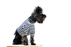 Yorkshire terrier in clothes Royalty Free Stock Photo