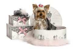 Yorkshire Terrier in a clothes box, isolated Stock Images