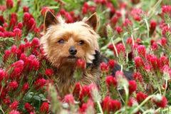 Yorkshire terrier in clover Stock Photo
