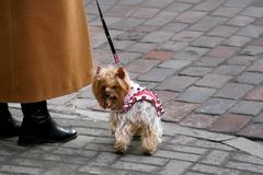 Yorkshire Terrier on a cobblestone. Small sweet dog is walking on the street. Owner in an orange coat holds Yorkshire Terrier on a leash stock image