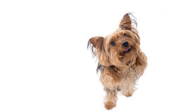 Yorkshire Terrier Cocking Head to Side Stock Image
