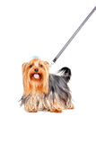 Yorkshire Terrier with collar. On a leash Stock Photography