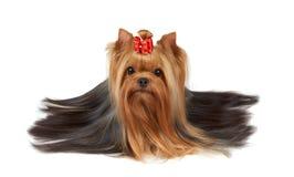 Yorkshire terrier com cabelo longo bonito Imagem de Stock Royalty Free