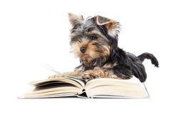 Yorkshire terrier com um livro Imagem de Stock