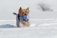Yorkshire terrier com uma bola foto de stock