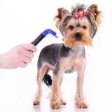 Yorkshire terrier comb Stock Images