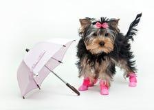 Yorkshire Terrier con el arco en botas Imágenes de archivo libres de regalías