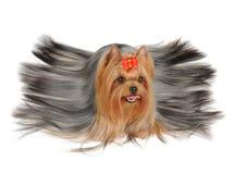 Yorkshire Terrier con el pelo largo fotos de archivo libres de regalías
