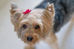 Yorkshire terrier con il nastro rosa fotografia stock libera da diritti