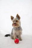 Yorkshire Terrier con la bola roja de Chrismas Foto de archivo