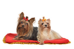 Yorkshire Terrier couple lying Royalty Free Stock Images