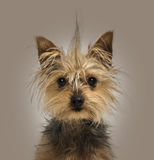 Yorkshire Terrier with a crest, sitting, looking at the camera Royalty Free Stock Photos