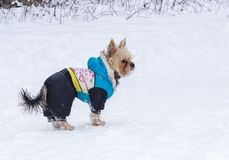 Yorkshire Terrier. Cute adult Yorkshire Terrier stands in winter clothes in the snow Stock Photography
