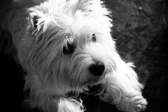 Yorkshire terrier, cute portrait Stock Image