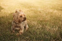 Yorkshire terrier. Cute small yorkshire terrier dog Stock Photos