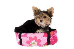 Yorkshire Terrier dans son panier Photo stock