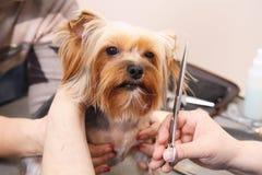 Yorkshire Terrier, das seinen Haarschnitt erhält lizenzfreie stockbilder