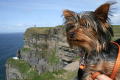 Yorkshire Terrier on a day out. Little Yorkie at the Cliffs of Moher Royalty Free Stock Photos