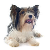 Yorkshire terrier de Biewer Fotos de Stock Royalty Free