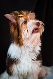 Yorkshire terrier de Biewer Fotos de Stock