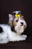 Yorkshire terrier de Biewer Imagens de Stock Royalty Free