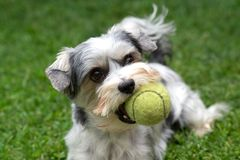 Yorkshire terrier de Biewer com uma bola de tênis Fotografia de Stock