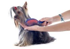 Yorkshire terrier de preparação Imagens de Stock Royalty Free