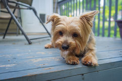 Yorkshire Terrier Deck Royalty Free Stock Photography