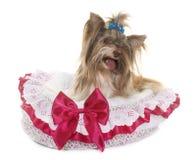 Yorkshire terrier del biro fotografie stock